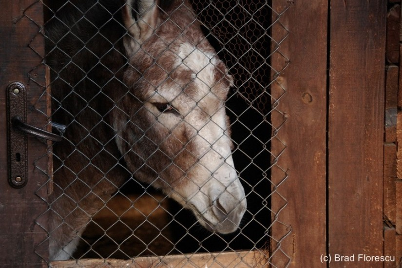 Bulgaria Arbanasi Izvora Donkey