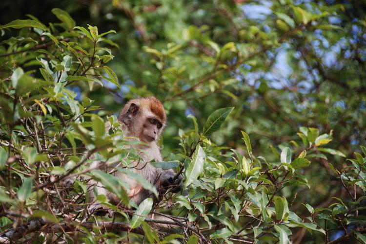 Borneo Monkey 2