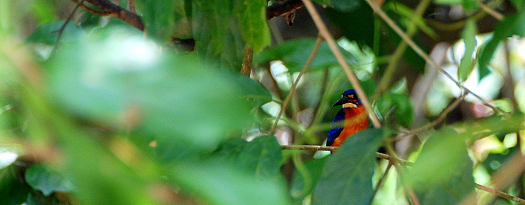 Kingfisher Borneo
