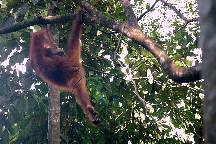 Rainforest Conservation Centre Sepilok Wild Orangutan