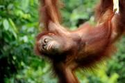 Sepilok Orangutan 2
