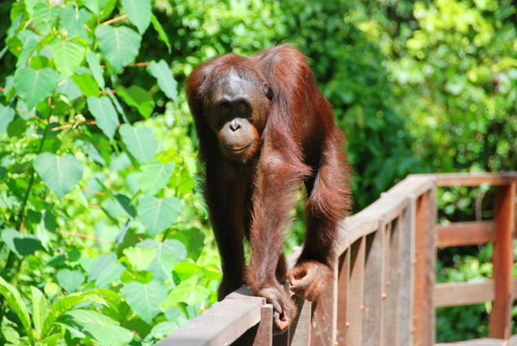Sepilok Orangutan 5