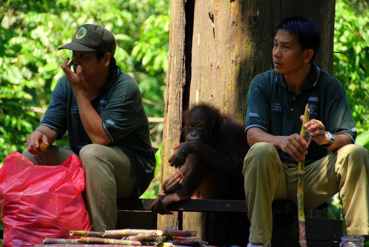 Sepilok Orangutan 6