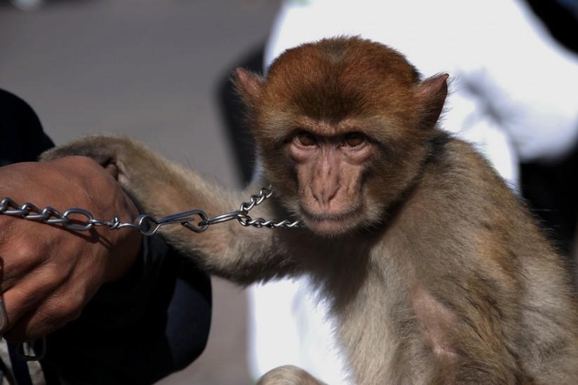 Morocco Marrakesh Djema El Fna monkey