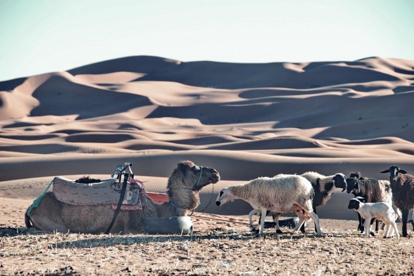 Morocco Merzouga Erg Chebbi Sahara camels 2