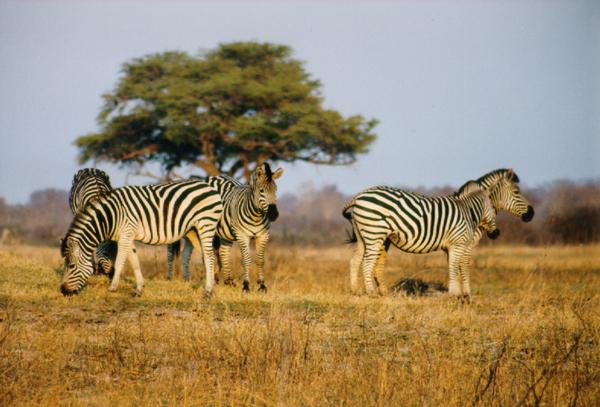 Zebras on Hwange National Park
