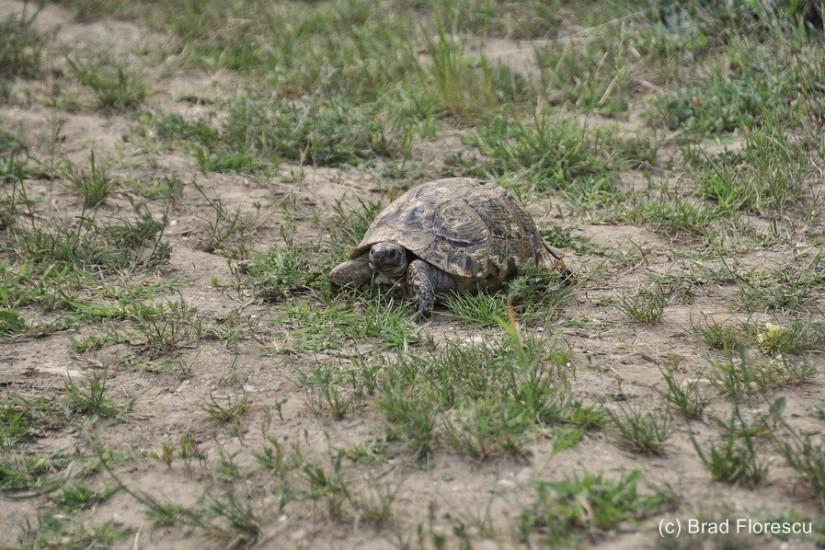 Bulgaria Srebarna Reserve turtle