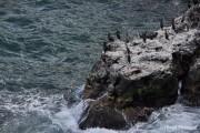 Bulgaria coast Tyulenovo cormorants 2