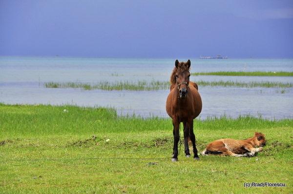 Lake Toba horses