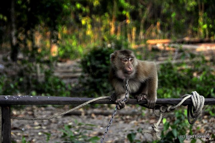 Surat Thani Kadejae Monkey Training School 1