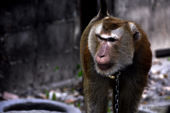 Surat Thani Kadejae Monkey Training School 3