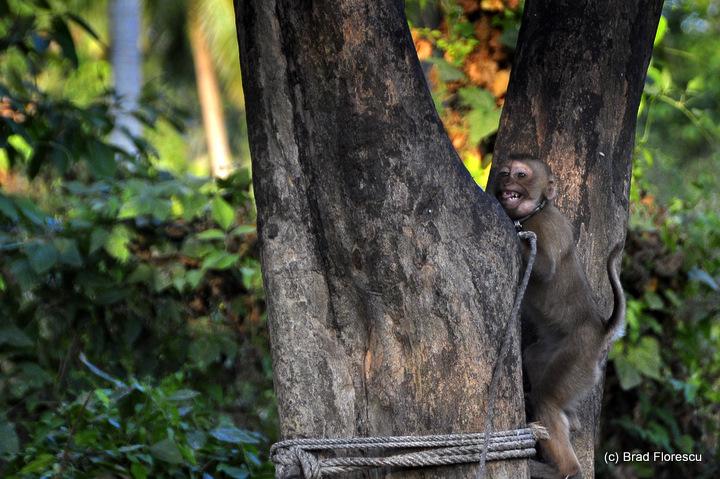 Surat Thani Kadejae Monkey Training School 4