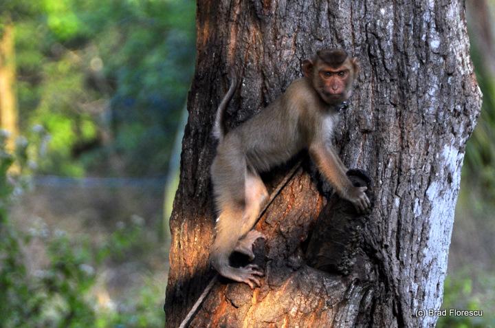 Surat Thani Kadejae Monkey Training School 6