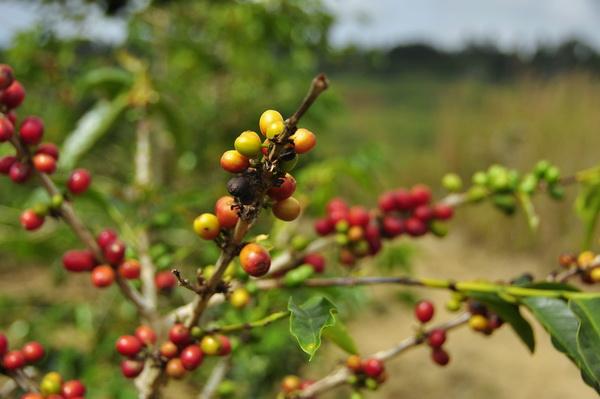 Coffee beans, the luwak's favourite.