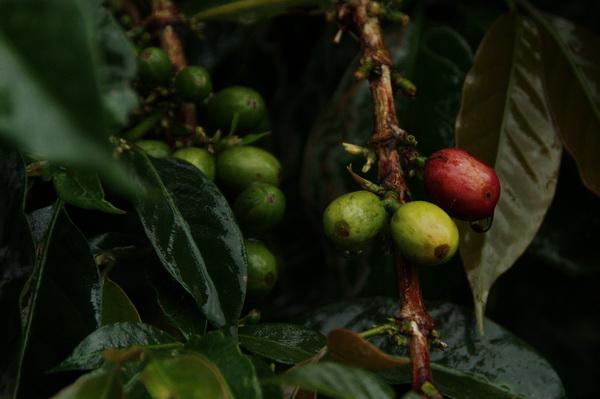 Coffee fruit 1
