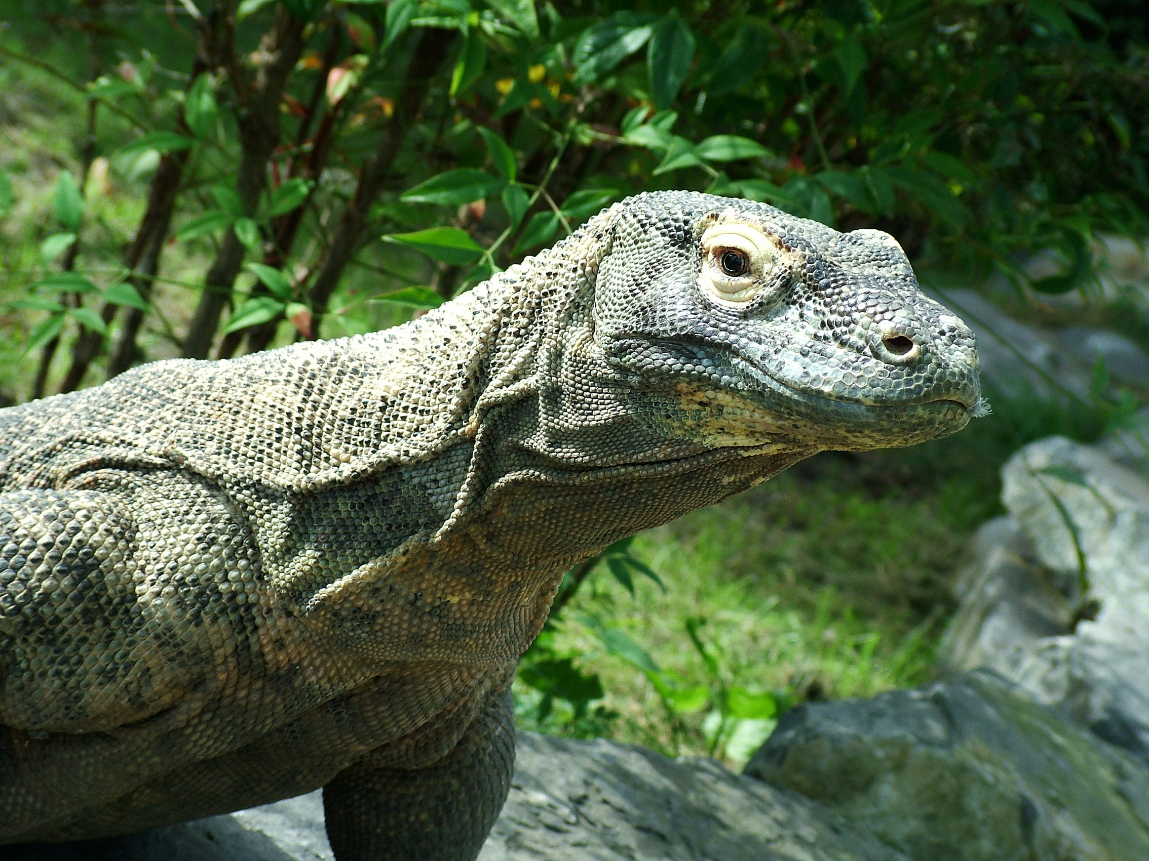 Komodo_ Dragon