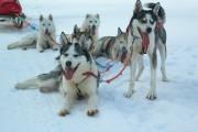 Laponia_excursie_sanie_husky