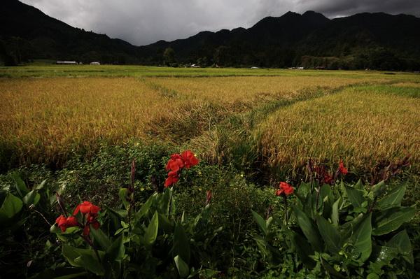 Ripe paddy field Sumatra