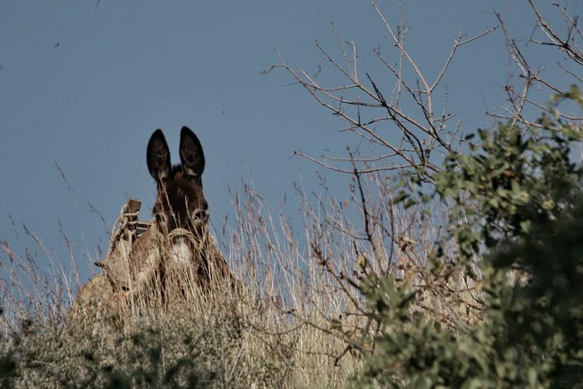 Cevlik donkey