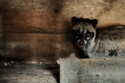 Luwak Asian Palm Civet