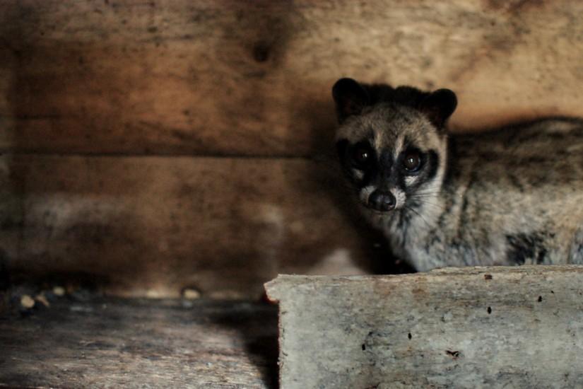 Luwak Asian Palm Civet
