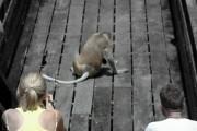 Labuk Bay Proboscis Monkey 2