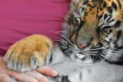 baby-tiger3-marius ursache