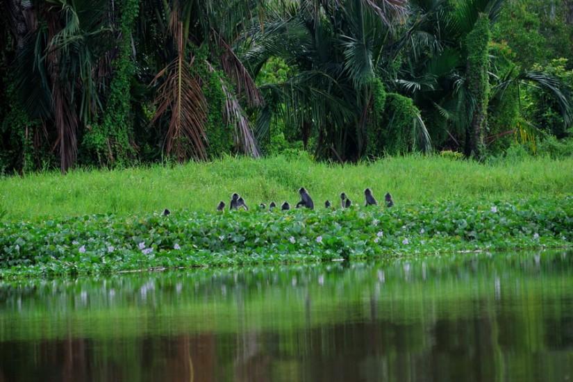 Sumatra Singkil Alas River boat jungle Thomas Leaf Monkeys