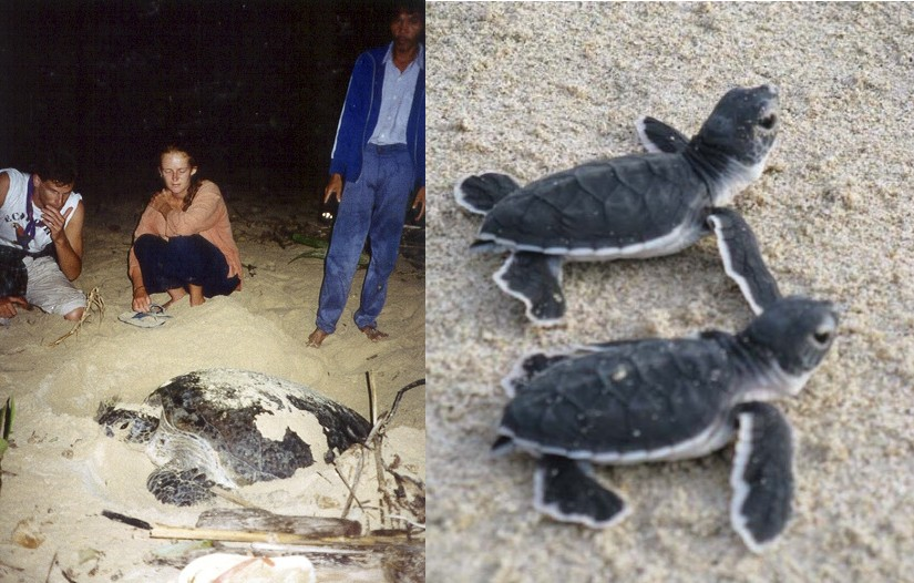 Turtle laying and leatherback hatchlings
