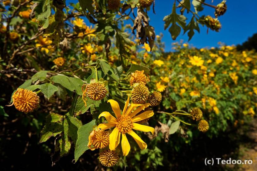 Thailand wild sunflower