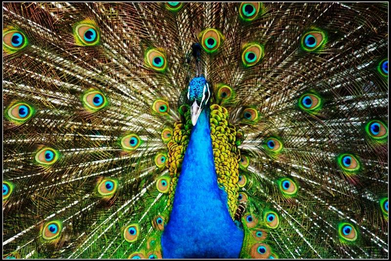 Peacock4 (800x533)
