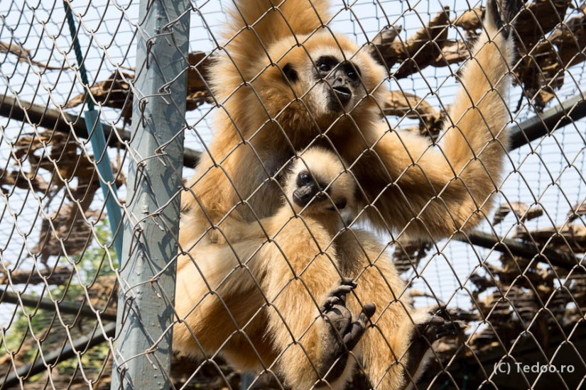 Thailand Gibbons-9689