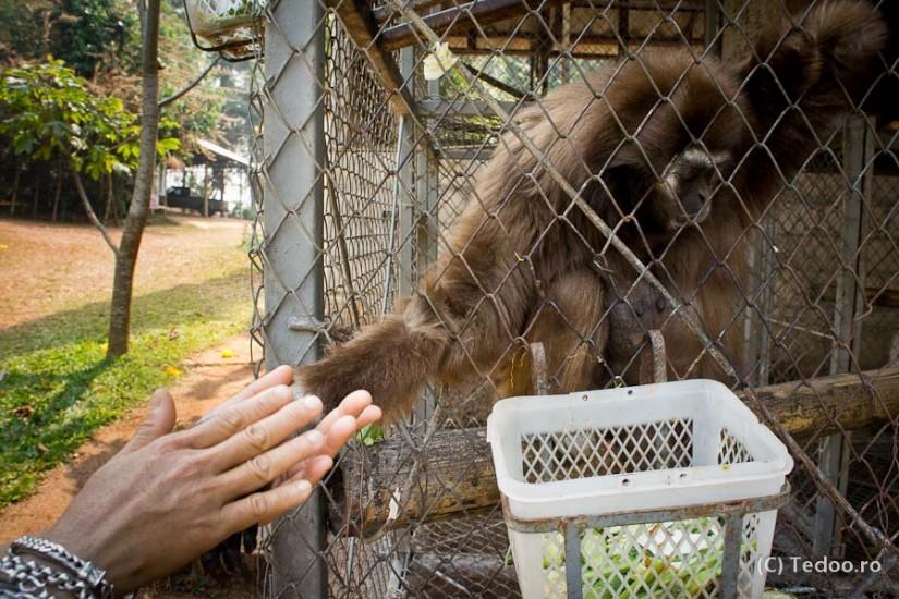 Thailand Gibbons-9728