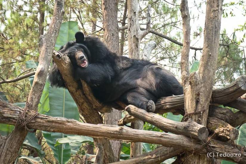 Ursul Asiatic