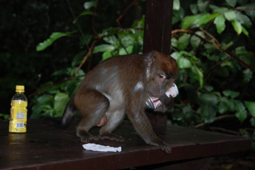 7 Philippines Monkey Fun Steal Coca Cola