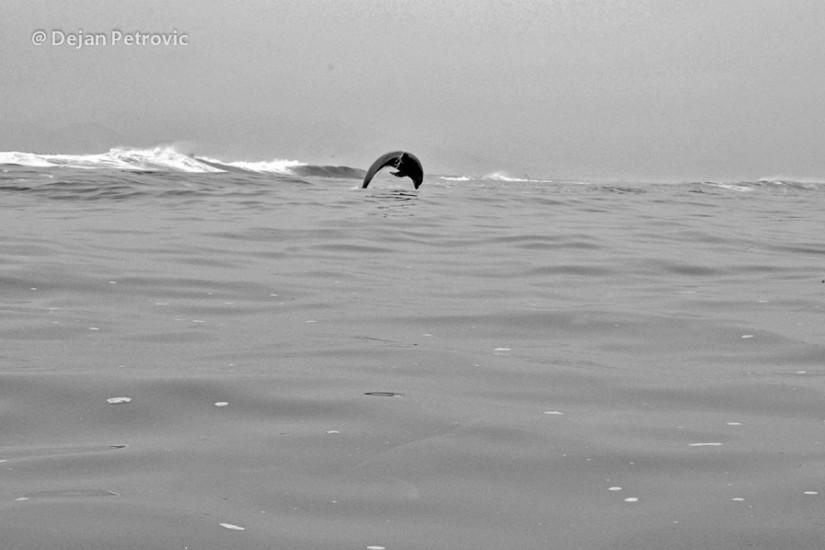 Peru delfin Pucusana