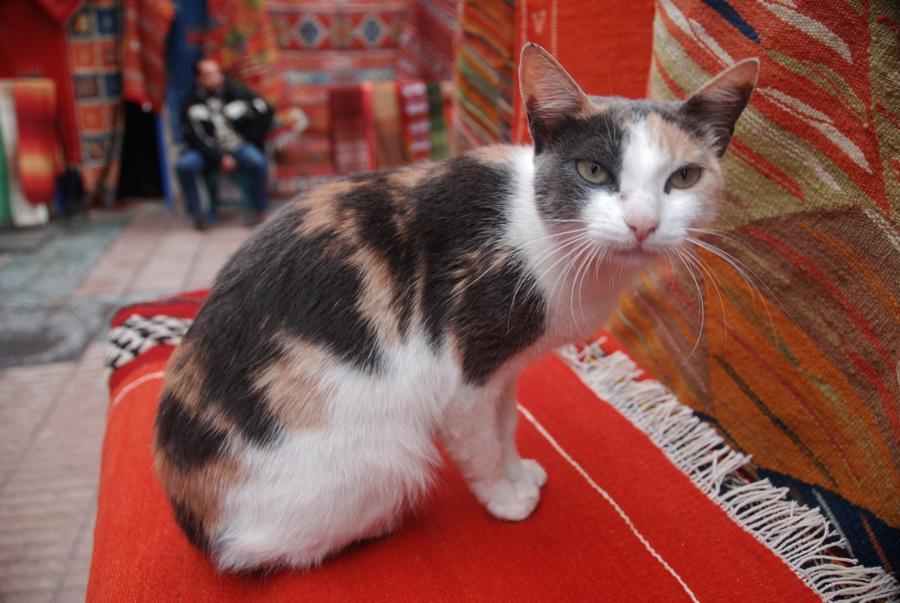 Pisica de Essaouira, Maroc.