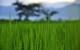 Thailand Phrao rice field