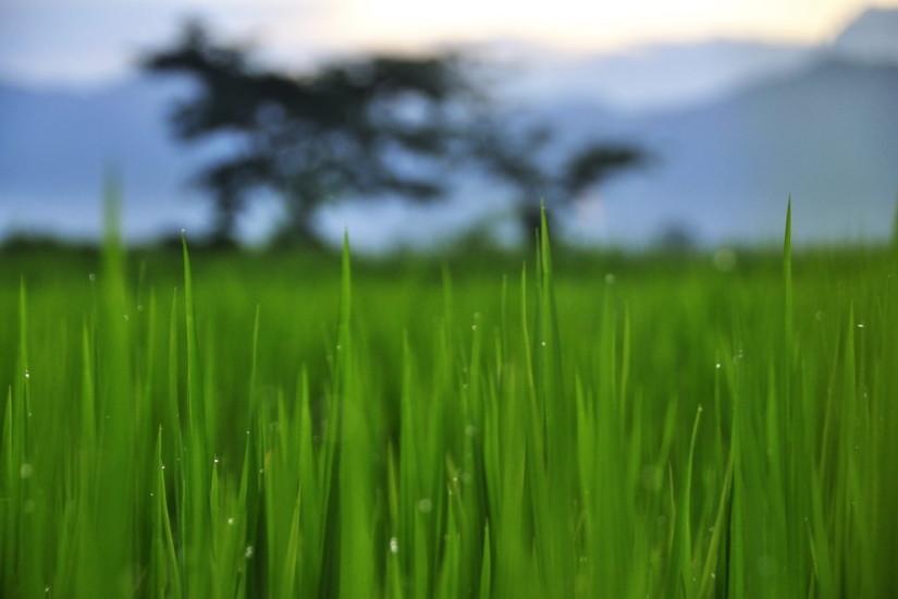 Phrao camp de orez Thailanda