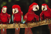 Papagal Macaw rosu