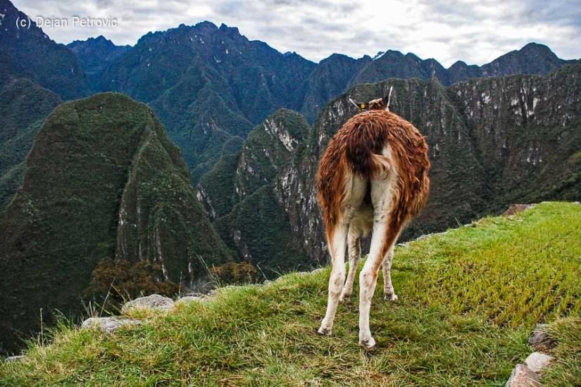 Peru Machu Picchu lamă