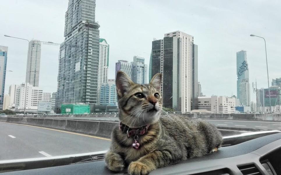 pisica-bangkok-mutare