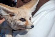 Morocco Desert Fox