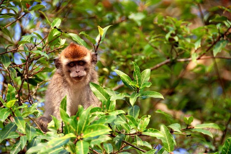 Borneo Monkey 1